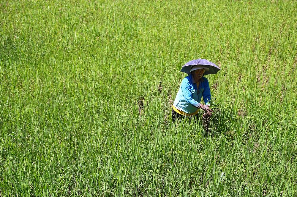 femme rizière philippines luzon