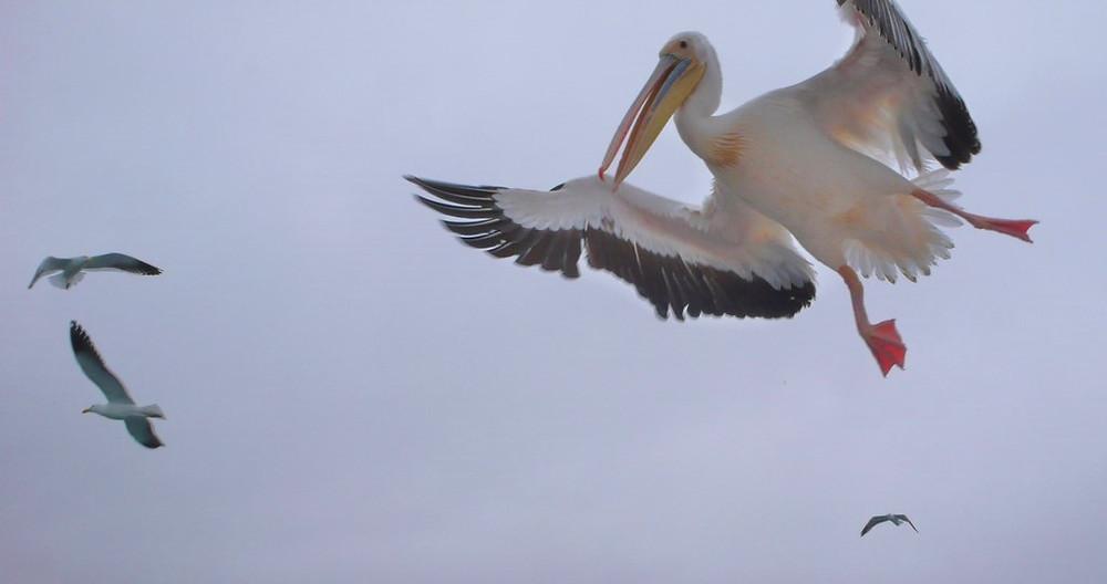 Walvis Bay pélicans