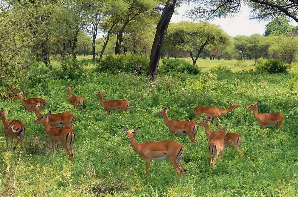 Troupeau Impalas Tarangire