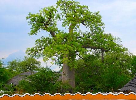 baobab Gweta Botswana