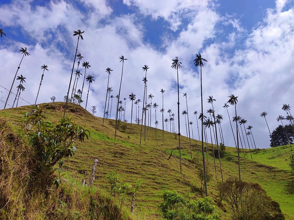 Palmier à cire Colombie