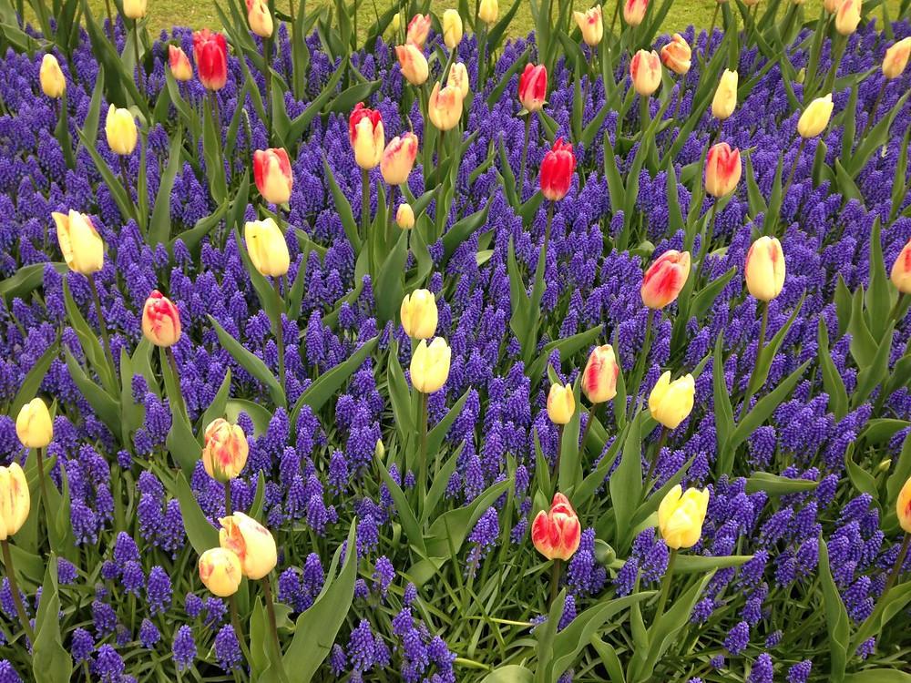 La tulipe perroquet Pays-Bas