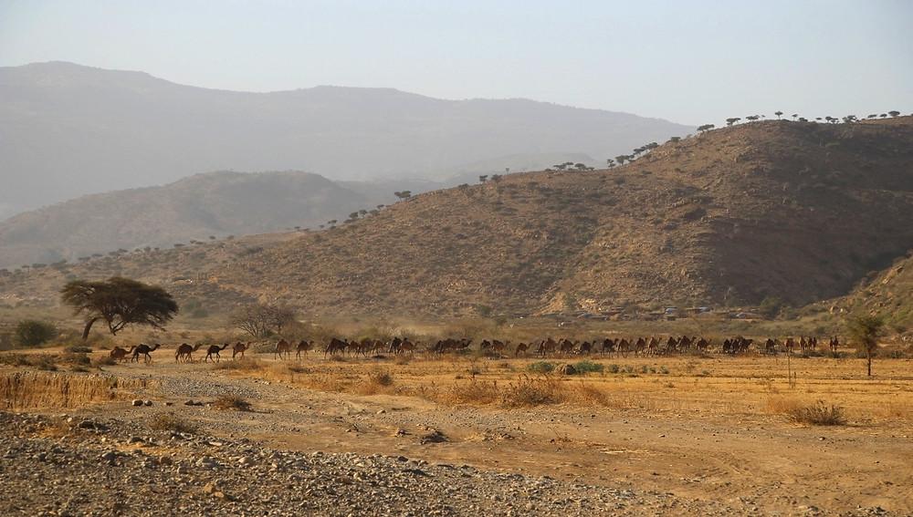 dromadaires caravanes ethiopie