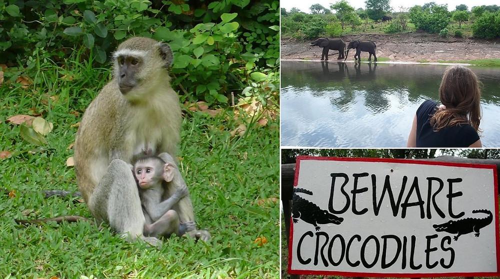 Chobe river Kasane singe hippos