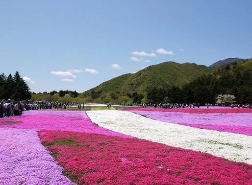 Le Shibazakura, Festival de fleurs du Mont Fuji au Japon