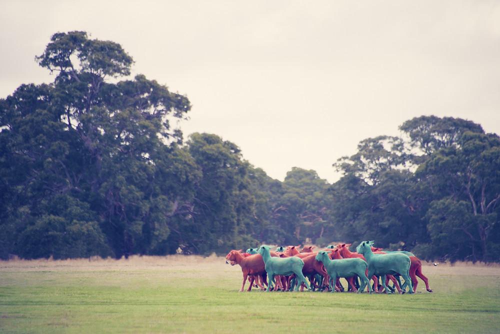 moutons de toutes les couleurs en Ecosse