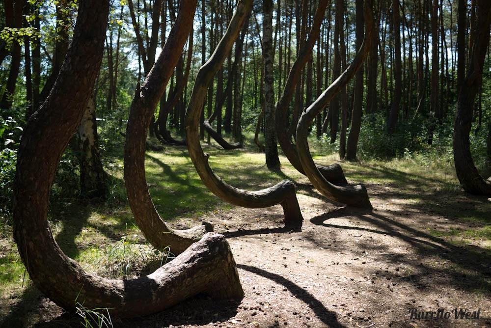 forêt arbres tordus pologne