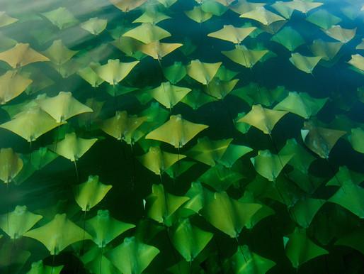 La migration des raies dans le golfe du Mexique