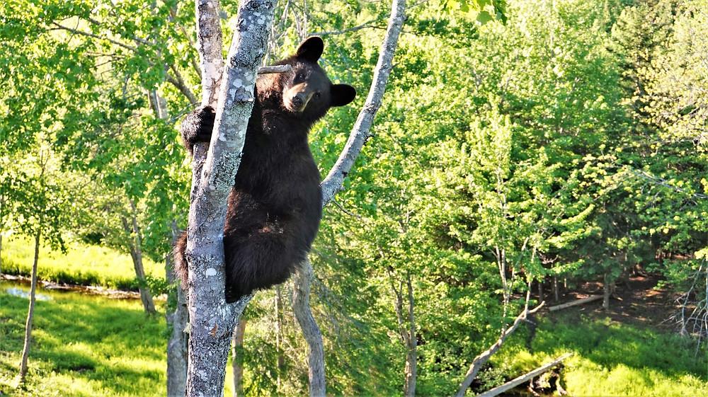 Nouveau Brunswick Ours noir
