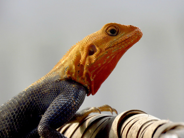 Agama lezard spiderman