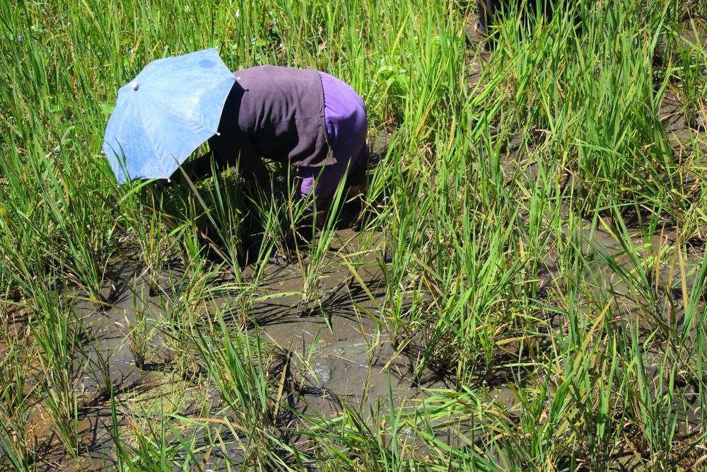 femme rizière philippines