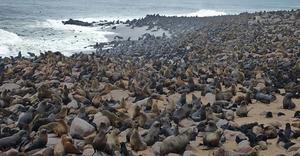 Capecross et sa colonie d'otaries