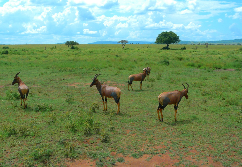 Antilopes serengeti