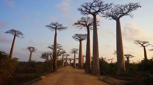 Madagascar allée des Baobabs
