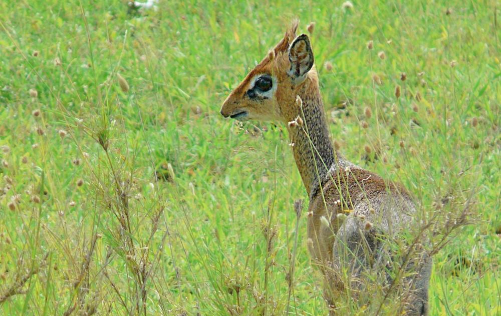 Dik dik Serengeti