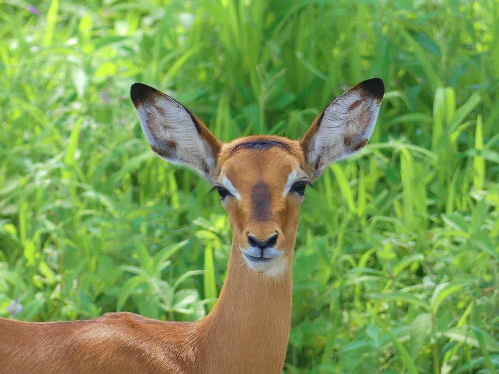 Impalas Tarangire