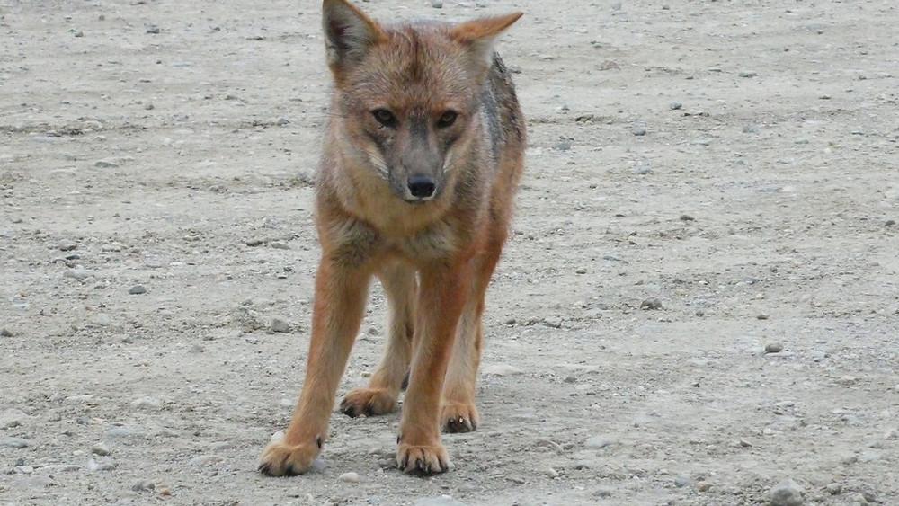 renard ushuaia