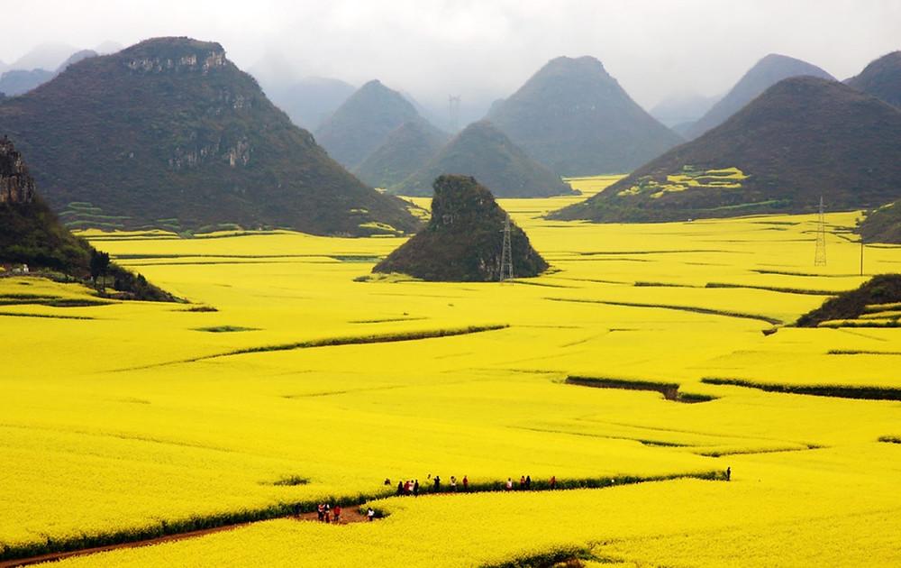 champs colza jaunes chine
