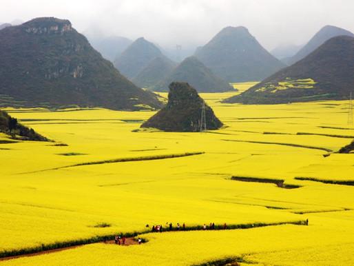 Les champs de Colza du Xian de Luoping en Chine