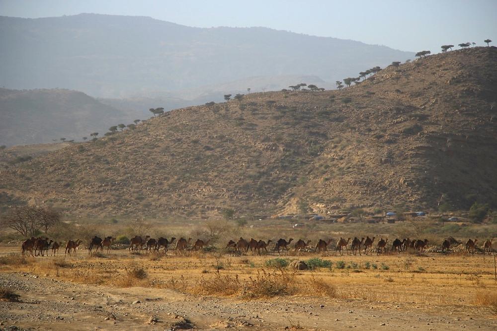 Dromadaire éthiopie afar