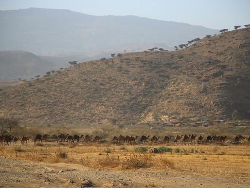 Les dromadaires danakil en Ethiopie