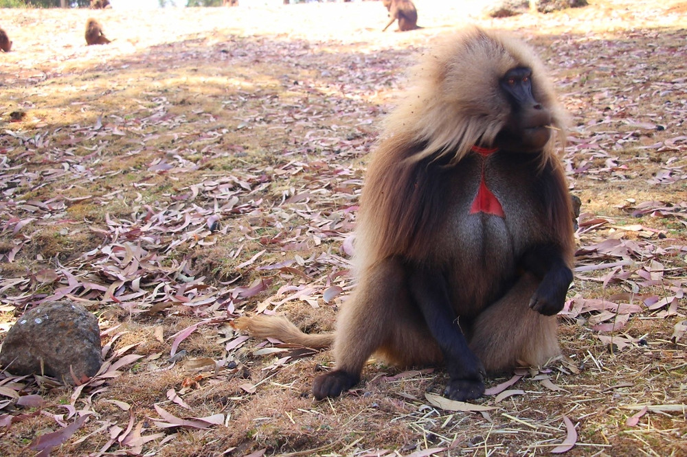 singe gelada simien