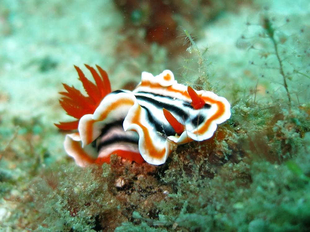 nudibranche Raja AMPAT