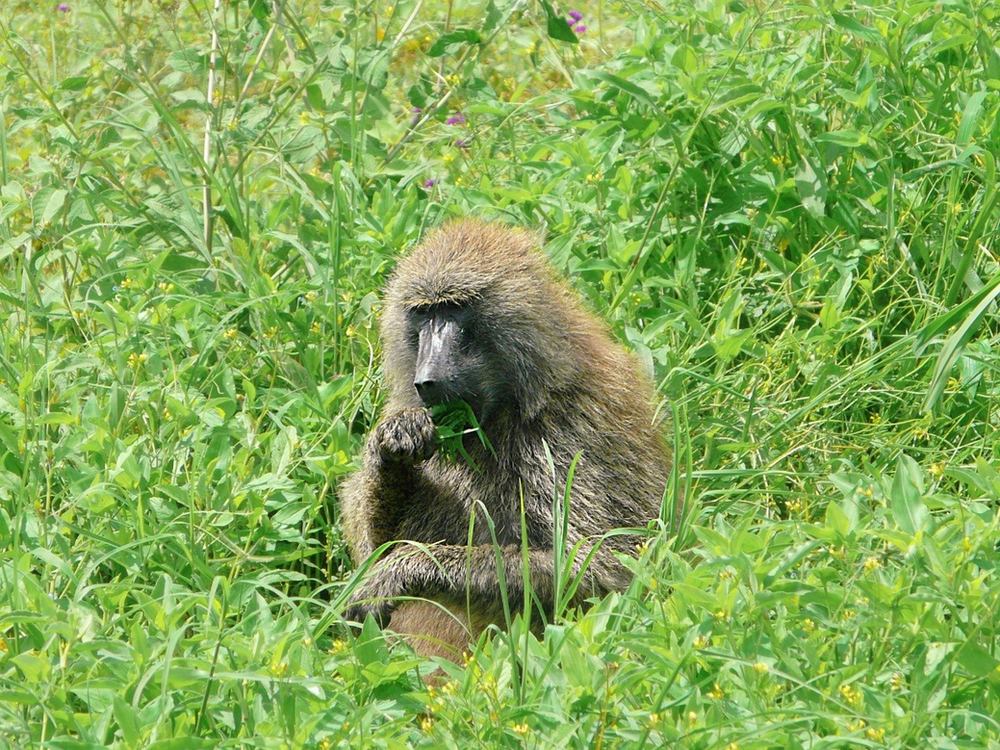 Babouins serengeti