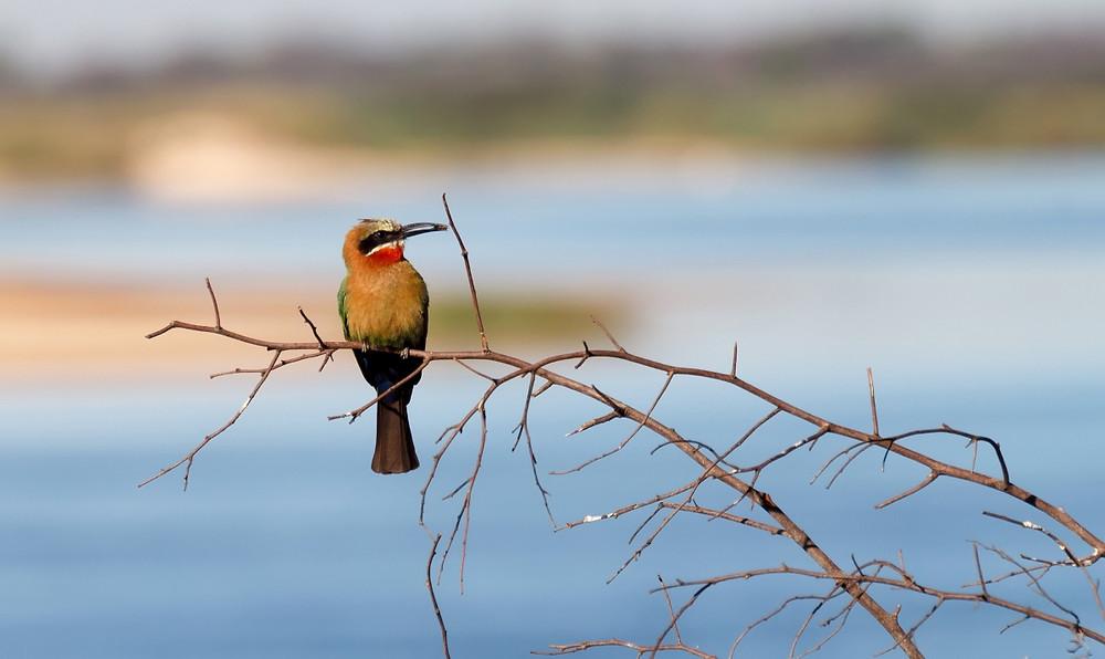 Oiseau Bagani Namibie