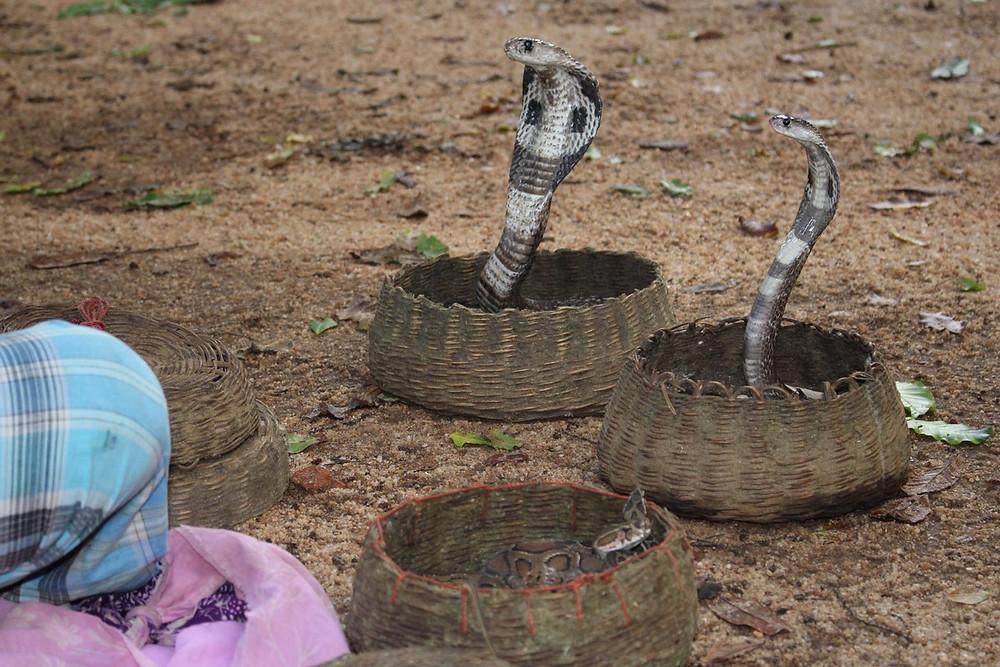 charmeur de serpent sri lanka