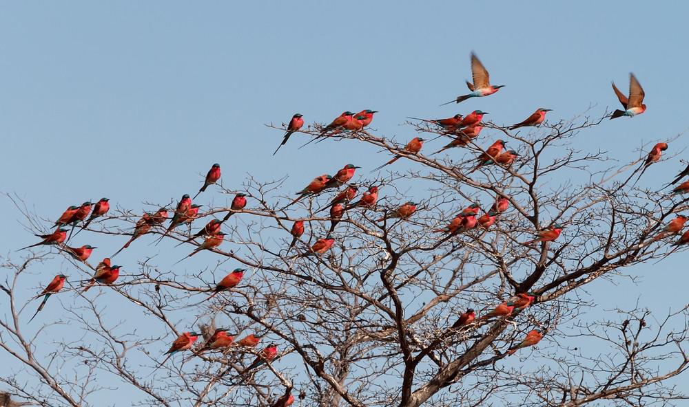Oiseaux Kongola Namibie