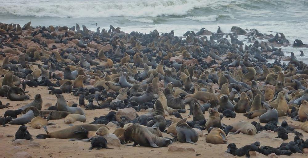 Capecross en Namibie otaries