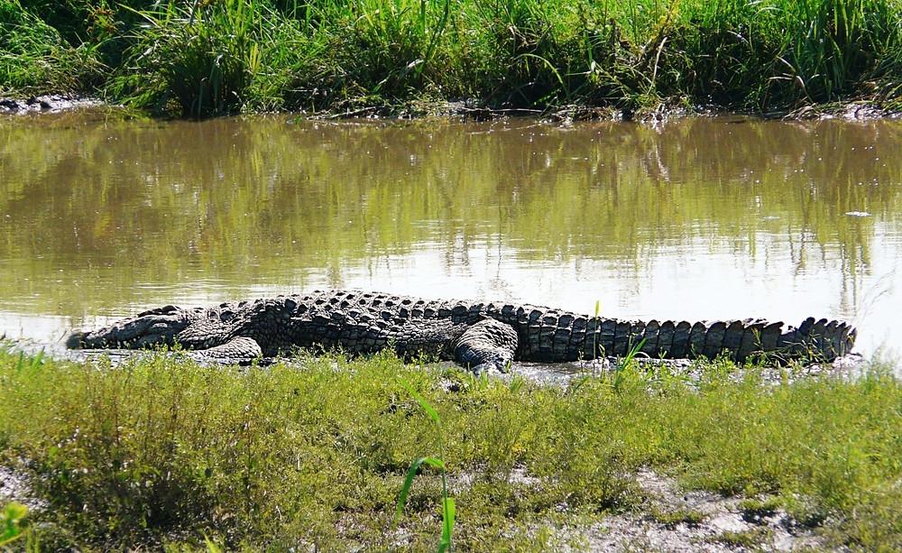 crocodile serengeti