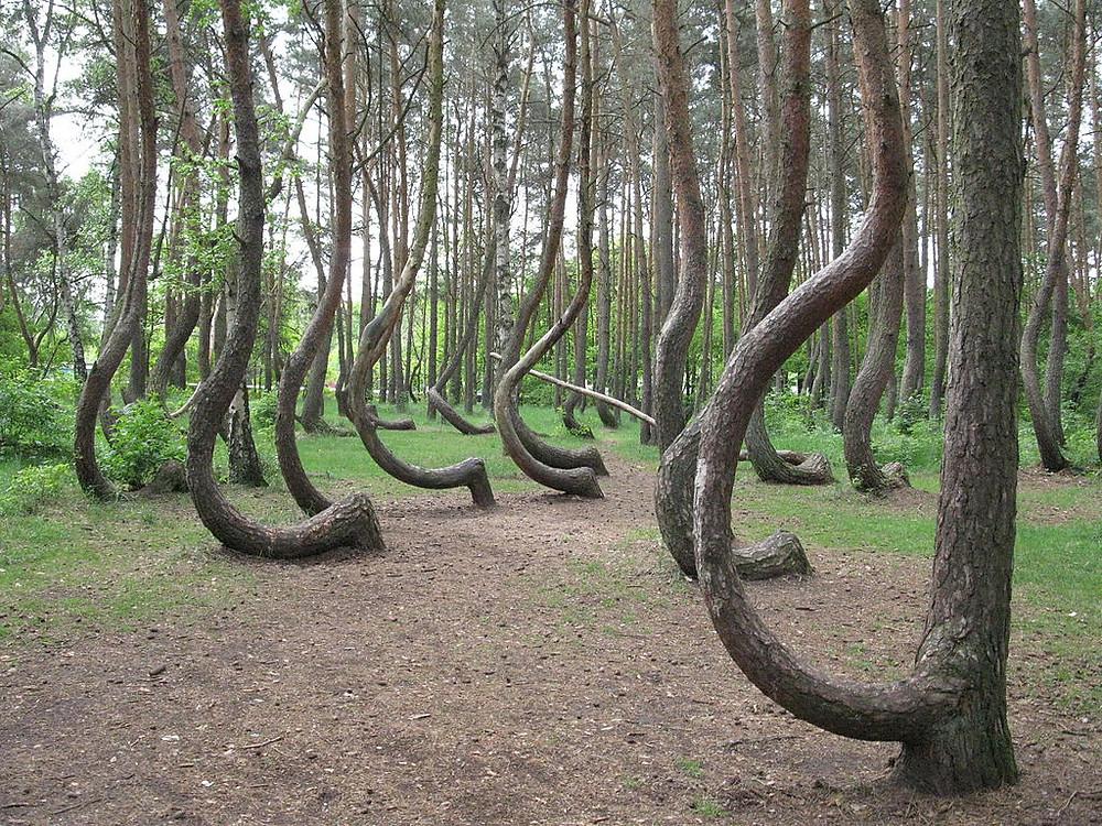 La forêt tordue en Pologne