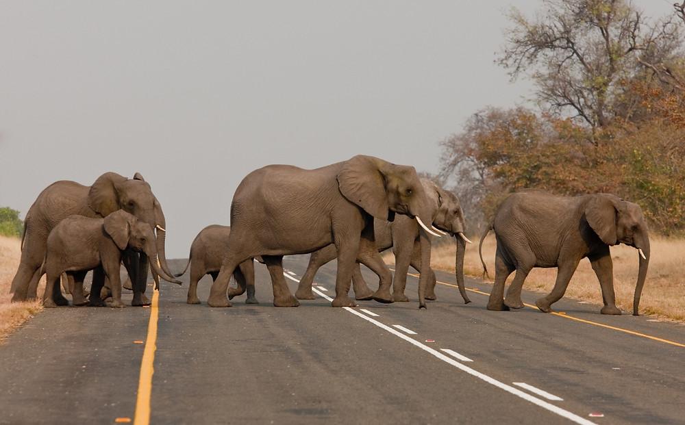 elephants ghanzi botswana