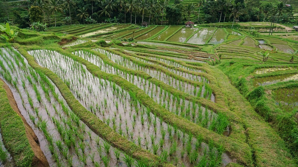 Photo Rizières Jatiluwih Bali