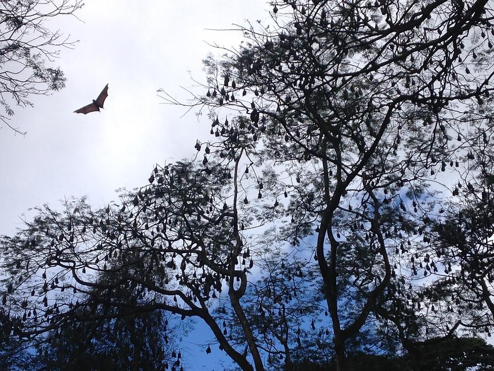 Chauve souris Jardin Botanique Kandy Sri Lanka