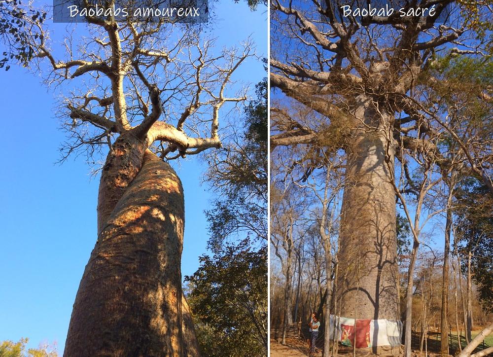 baobab amoureux baobab sacré madagascar