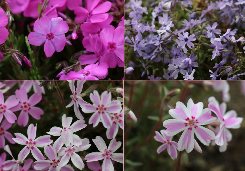 Fleurs roses du Japon