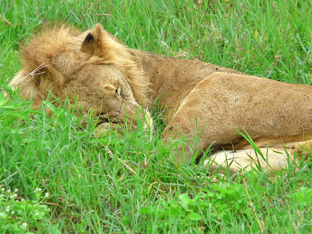 Lion Cratère Ngorongoro