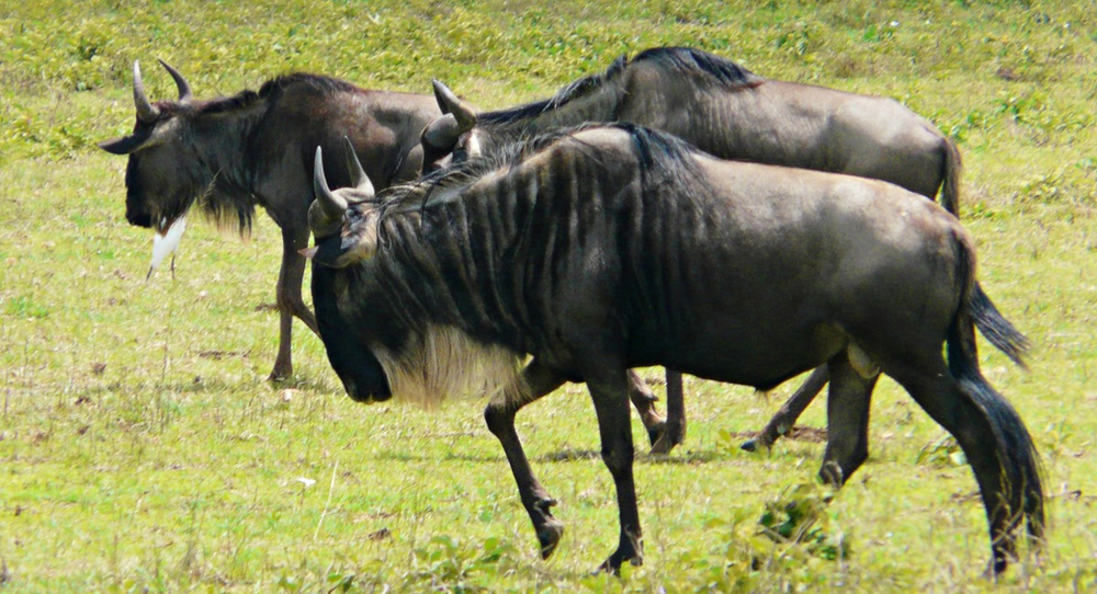 Gnous parc serengeti