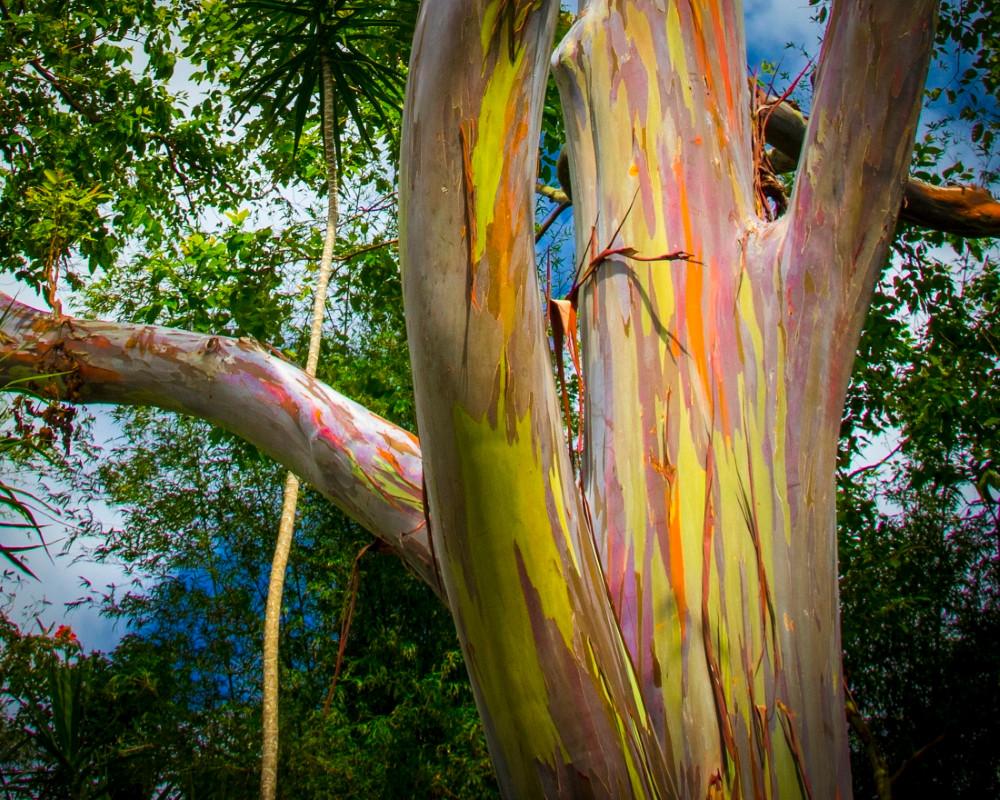 Eucalyptus Deglupta arbre arc en ciel