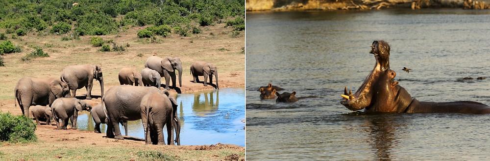 Kongola hippos et éléphants