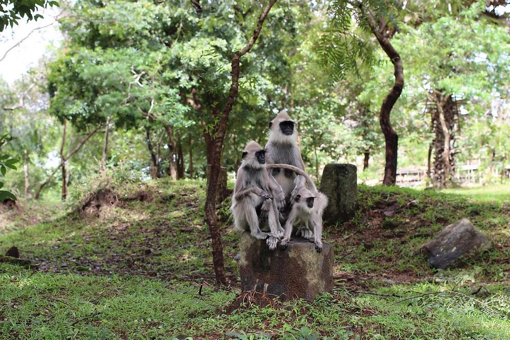 singes Polonnaruwa Sri Lanka