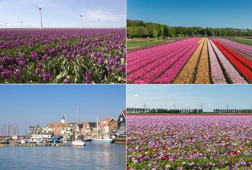 Tulipes Noordoostpolde Flevoland