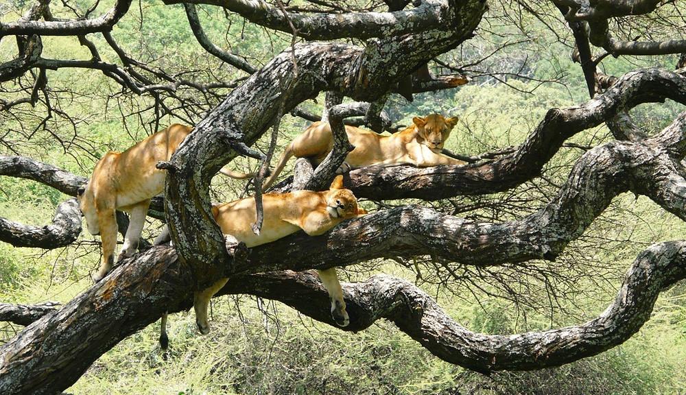 Lions lionnes parc manyara