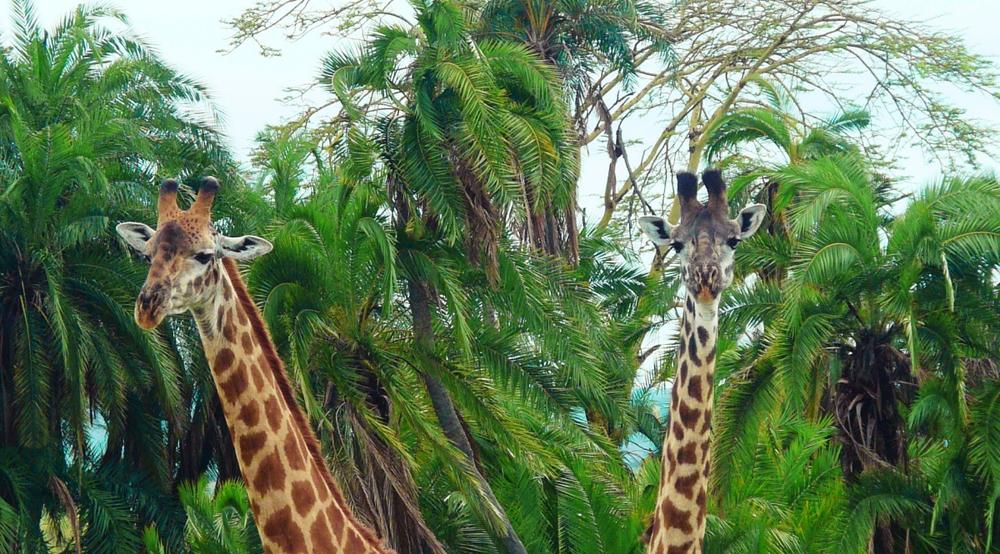girafes arbres serengeti tanzanie