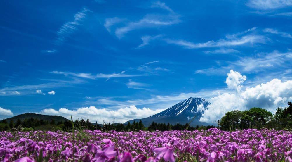 Shibazakura Festival Fuji Fleurs