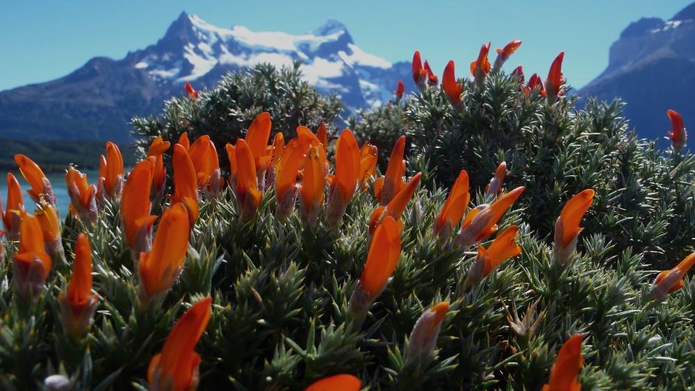 Torres del Paine fleurs montagne