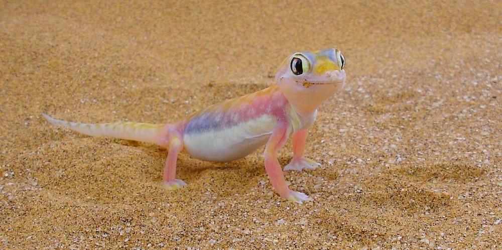 gecko de namibie